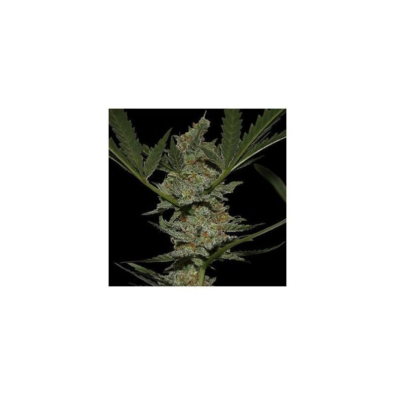 Acapulco Gold Fem (5 Semillas) Barneys Farm