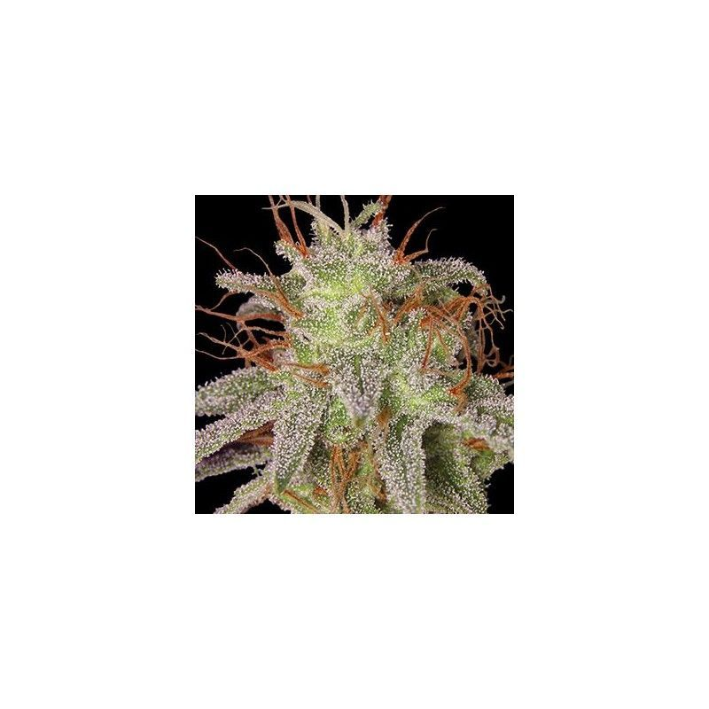 Amnesia Lemon Fem (5 Semillas) Barneys Farm