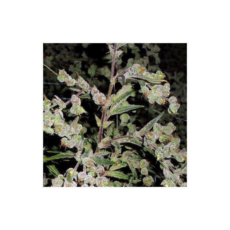 Dr Grinspoon Fem (5 Semillas) Barneys Farm