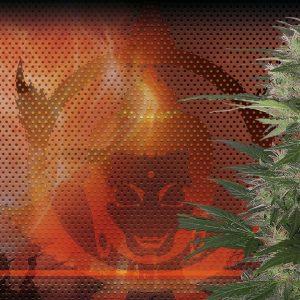 Red Dwarf Auto (3 Semillas) Buddha Seeds