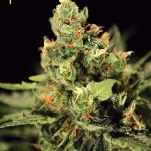 Green House Big Bang Auto (3 semillas)