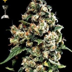 Green House Jack Herer Fem (3 Semillas)
