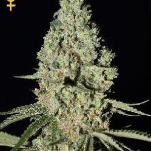 Green House Super Critical Fem (3 Semillas)