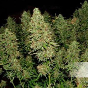 Dutch Passion Auto Blue Mazar (3 Semillas)