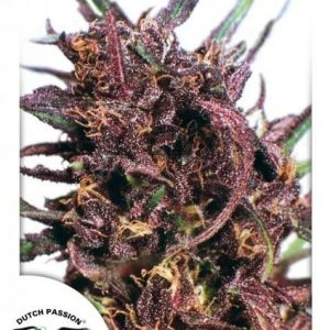 Dutch Passion Purple 1 Reg (10 Semillas)