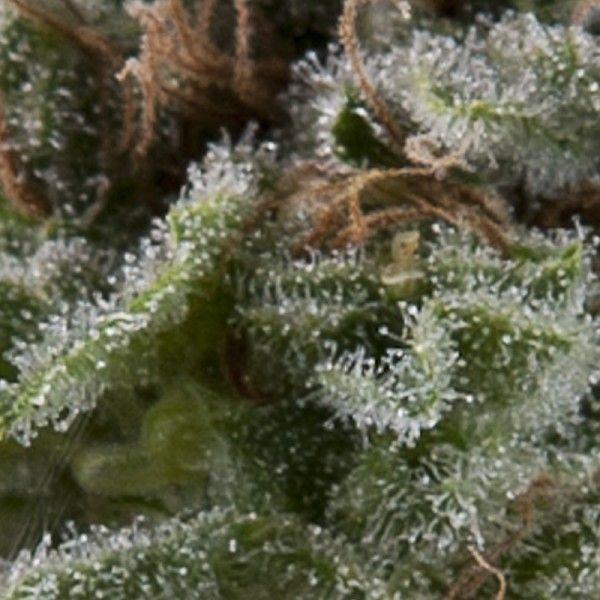 Pyramid Seeds Auto Lennon (1 Semilla)