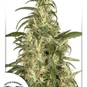Dutch Passion Skunk N11 Fem (3 Semillas)