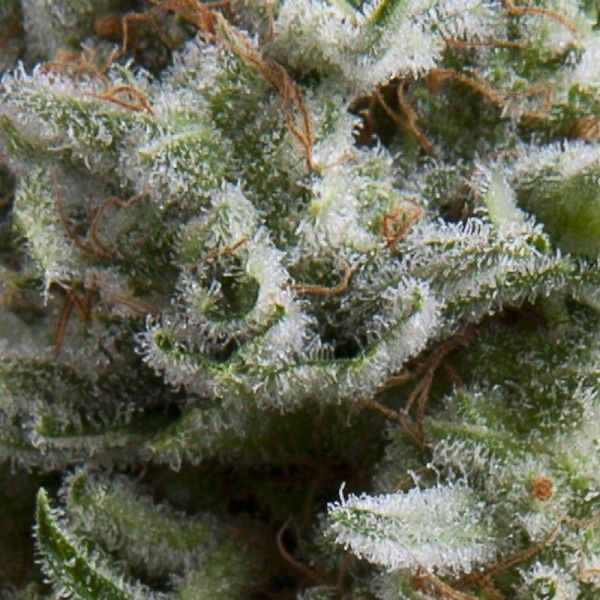 Pyramid Seeds Auto Anesthesia (1 Semilla)