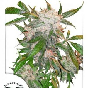 Dutch Passion White Widow Fem (3 Semillas)