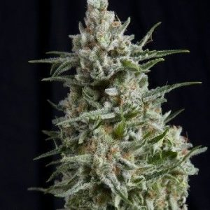 Pyramid Seeds Fem Anesthesia (3 Semillas)