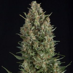 Pyramid Seeds Fem Wembley (3 Semillas)