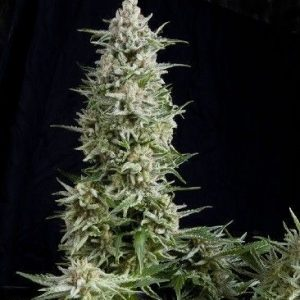 Pyramid Seeds Fem Amnesia Gold (5 Semillas)