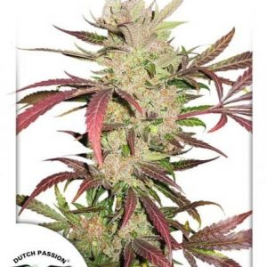 Dutch Passion Masterkush Fem (5 Semillas)