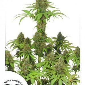 Dutch Passion Dutch Haze Fem (10 Semillas)