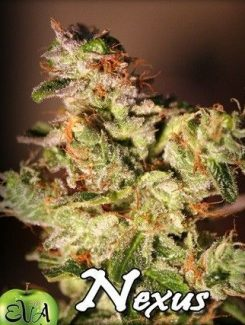 Eva Seeds Nexus Fem (3 Semillas)