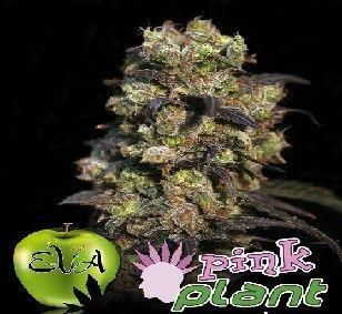 Eva Seeds Pink Plant Fem (3 Semillas)