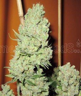 Medical Seeds Channel+ Fem (5 Semillas)