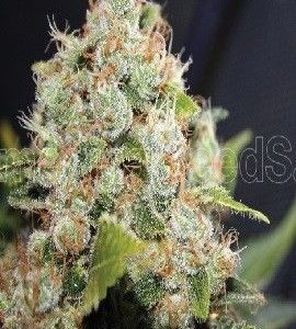 Medical Seeds Sour Diesel Fem (5 Semillas)