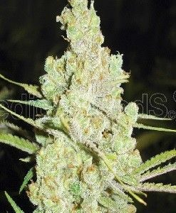 Medical Seeds 1024 Fem (5 Semillas)