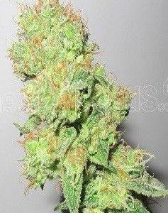 Medical Seeds Y Griega CBD Fem (5 Semillas)