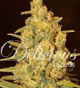 Delicious Seeds Critical Sensi Star Fem (3 Semillas)