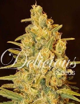 Delicious Seeds Critical Sensi Star Fem (1 Semilla)