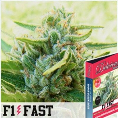 Delicious Seeds Sugar Black Rose F1 Fast Fem (3 Semillas)
