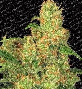 Paradise Seeds Acid Auto (3 Semillas)