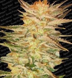 Paradise Seeds Ice Cream Fem (5 Semillas)