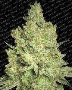 Paradise Seeds Jacky White Fem (5 Semillas)