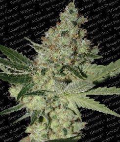 Paradise Seeds Acid Fem (3 Semillas)