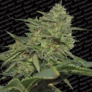 Paradise Seeds Original Cheese Fem (3 Semillas)