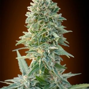 Advanced Seeds Auto Jack Herer (3 Semillas)