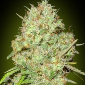 Advanced Seeds Shark Widow Fem (3 Semillas)