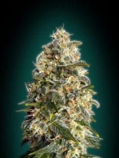 Advanced Seeds Heavy Bud Fem (3 Semillas)