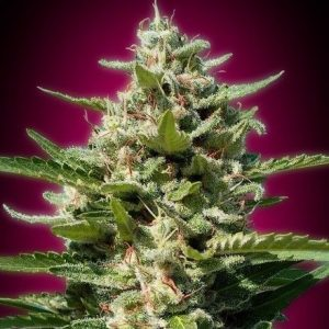 Advanced Seeds White Kush Fem (3 Semillas)