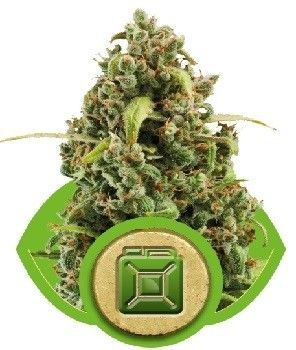 Royal Queen Diesel Auto (1 Semilla)