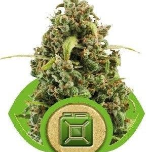 Royal Queen Diesel Auto (5 Semillas)