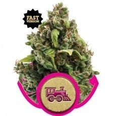 Royal Queen Candy Kush Express Fast (1 Semilla)