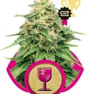 Royal Queen Critical Fem (1 Semilla)