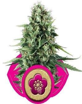 Royal Queen Power Flower Fem (1 Semilla)