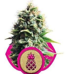 Royal Queen Pineapple Kush Fem (10 Semillas)