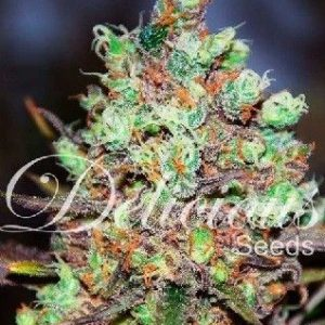 Delicious Seeds Cotton Candy Fem (1 Semilla)