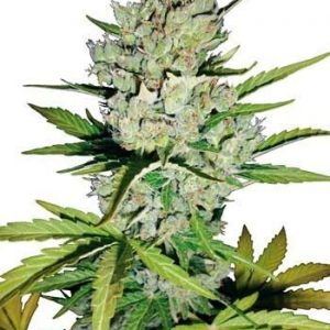 Sensi White Label Super Skunk Auto (3 Semillas)