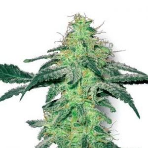 Sensi White Label White Skunk Fem (10 Semillas)