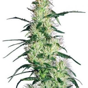 Sensi White Label Purple Haze Fem (3 Semillas)