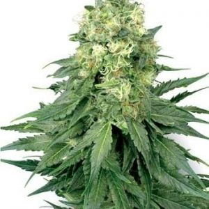 Sensi White Label White Widow Fem (3 Semillas)