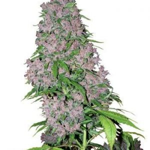 Sensi White Label Purple Bud Fem (5 Semillas)
