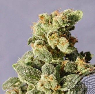 Kannabia Seeds Gnomo Auto (5 Semillas)
