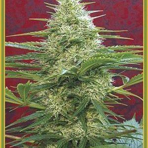 Mandala Seeds Satori Reg (10 Semillas)